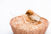 Photo cute small chick in nest on white background