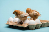 cute small fluffy chicks on eggs in tray on blue background