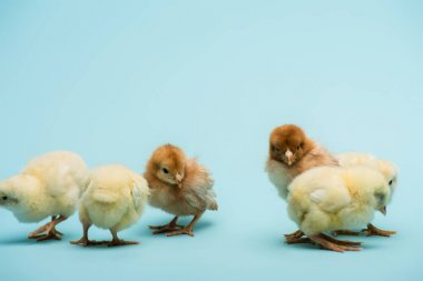 cute small fluffy chicks on blue background