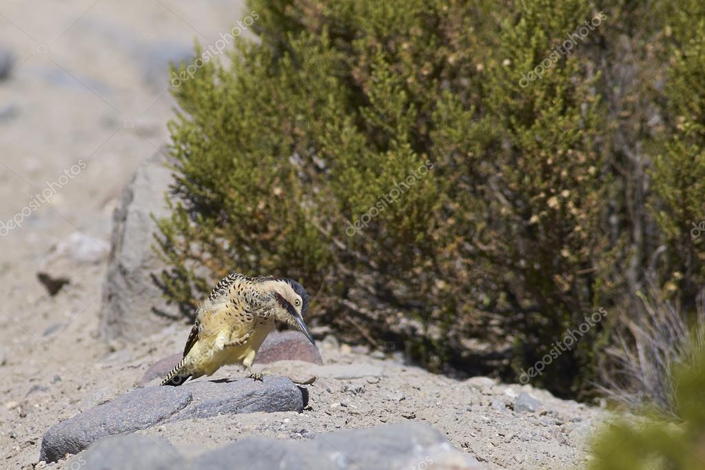 Woodpecker on the Altiplano