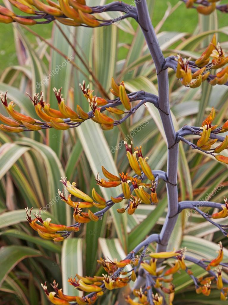 Phormium plant flowering