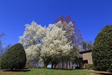 Blooming Bradford Pear Trees in a Yard