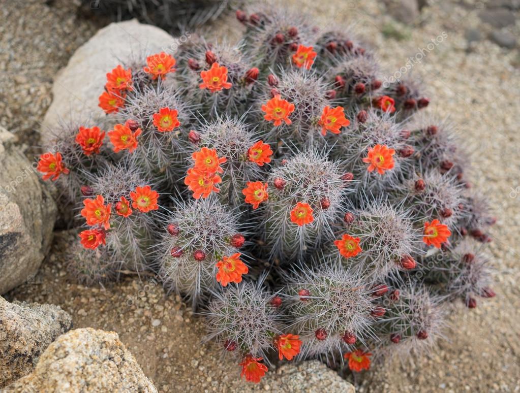 Blooming Cactus Flowers Spring Desert In Scottsdale Arizonause