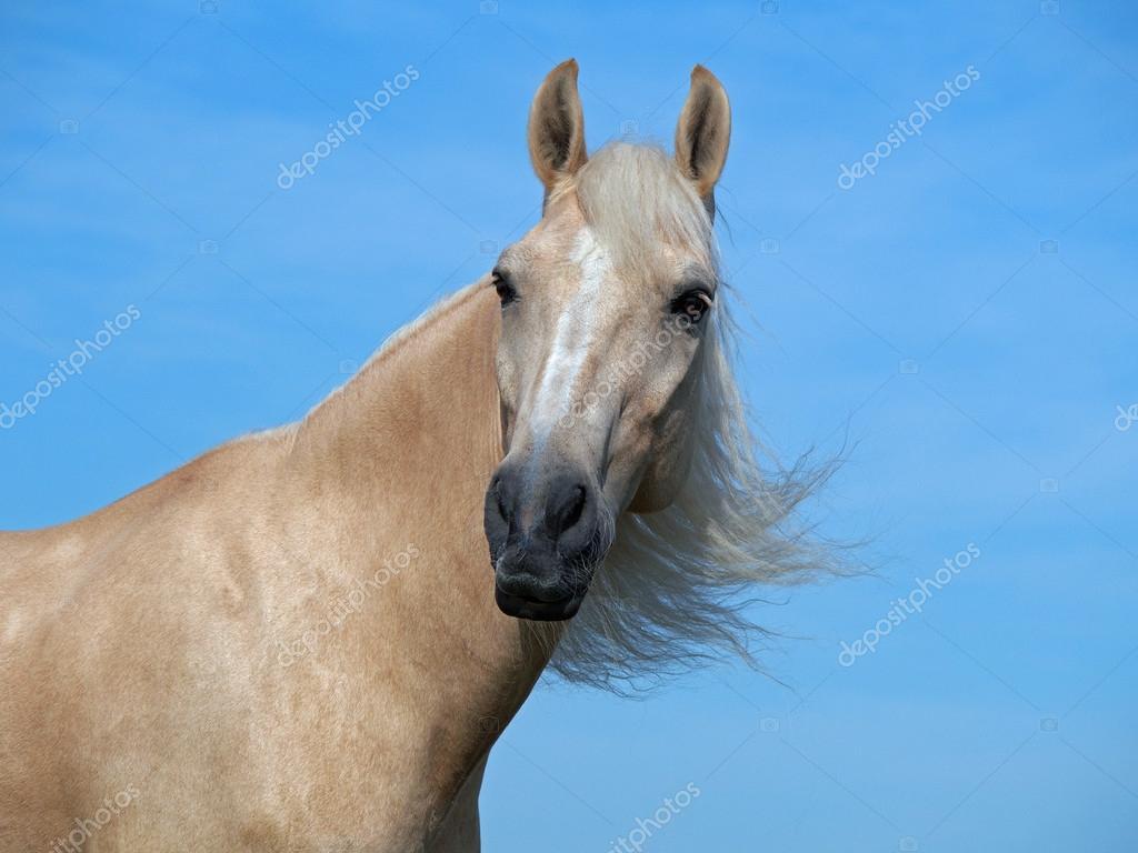 Beautiful Palomino Horses Portrait Of Beautiful Palomino Horse Stock Photo C Goldika 52558167