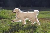 Schöne golden Retriver Hund auf einem grünen Rasenstück