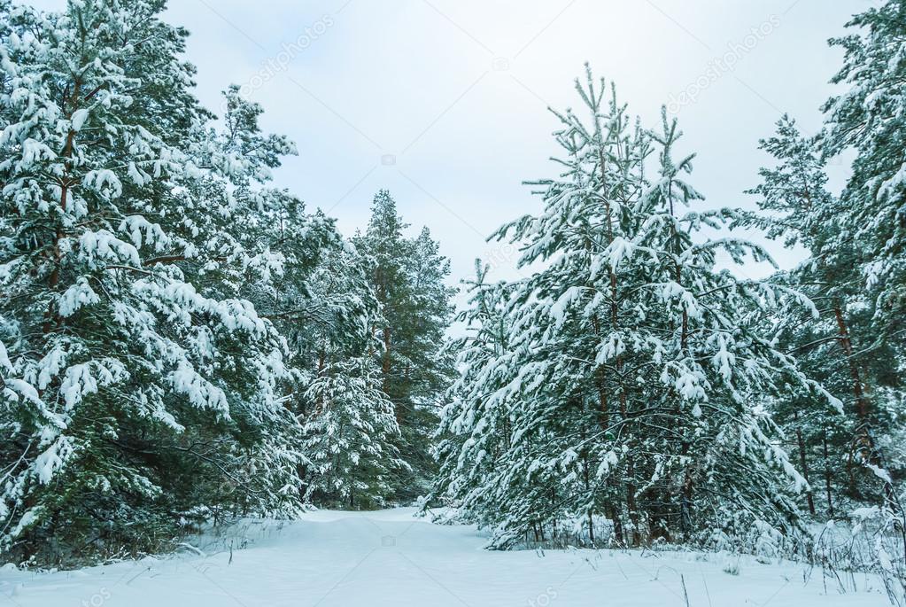 Resultado de imagen para pinos en invierno