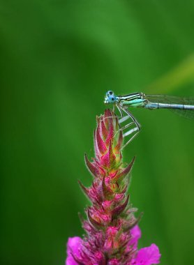 river dragonfly on a bright pink flower