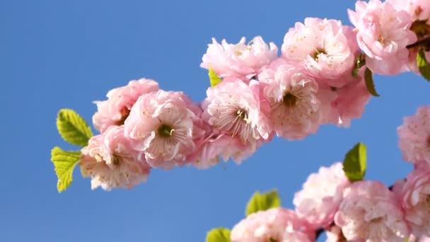 květy růžové sakura