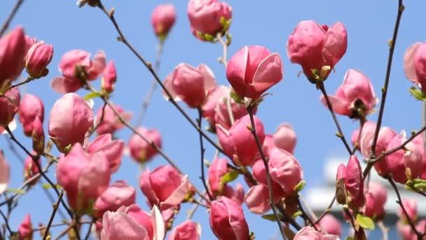 Květiny kvetoucí magnólie