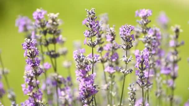 Lavenders flowers