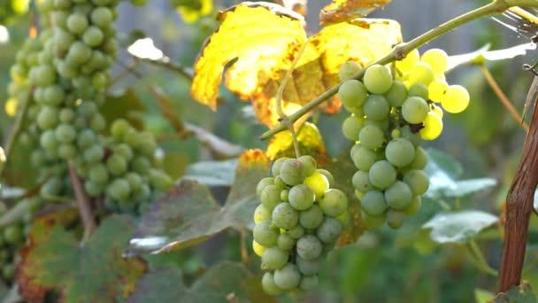 zöld szőlőfürt