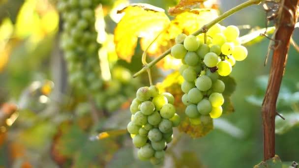 Hrozny rostou na vinici