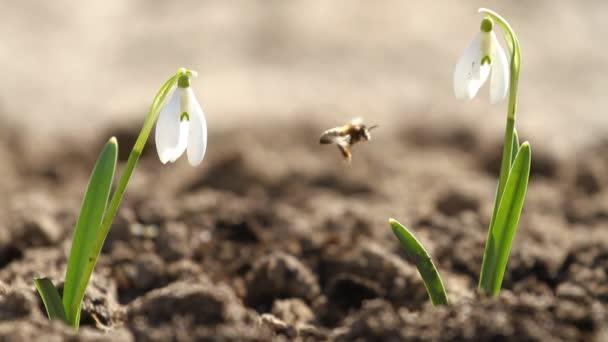 Fehér hóvirág virág és a méh repül