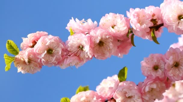 Kvetoucí Sakura