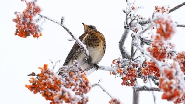 Thrush siting on the rowanberry .