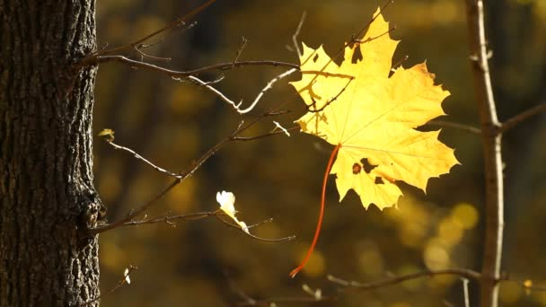 Maple leaf  in autumn.