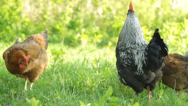 Ritratto di gallo