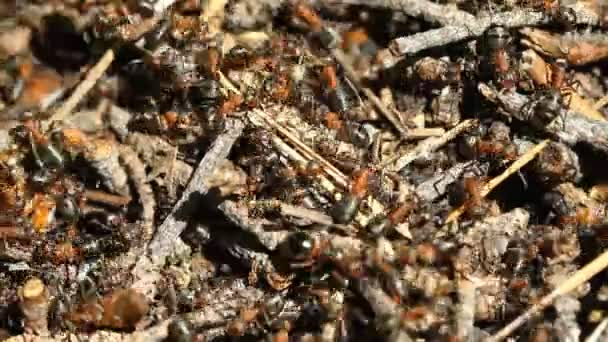 Mravenci kolonie makro