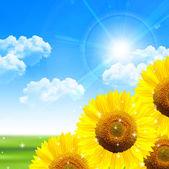 Slunečnice letní krajina pozadí