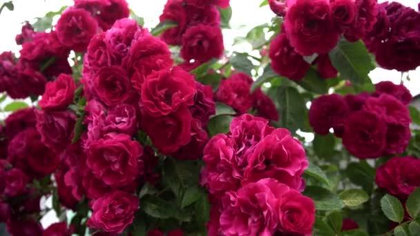 Zahradní sprej rudých růží zblízka. Jasné, čerstvé kvetoucí růže