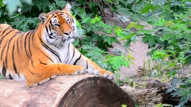 Grin tiger.
