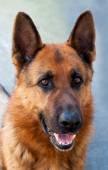 Fotografie Deutscher Schäferhund-Porträt
