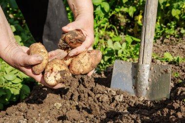 Digging up fresh potatoes