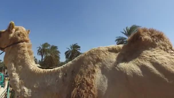 salesmen loading camels to trucks