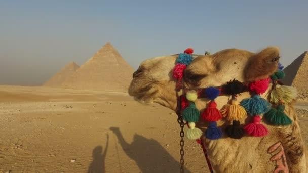 velbloud v Gíze, Káhira