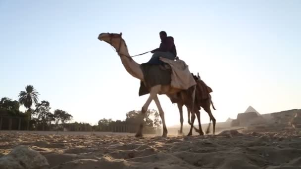 Man leading camels at pyramids