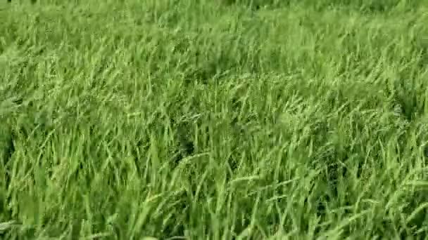 Grass rýže ve větru