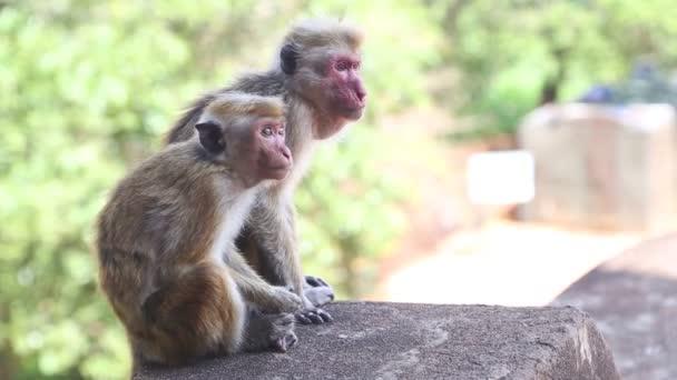 Dvě opice v Sígiriji
