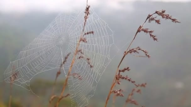 View of a spider web on a grass stem flowing in the wind