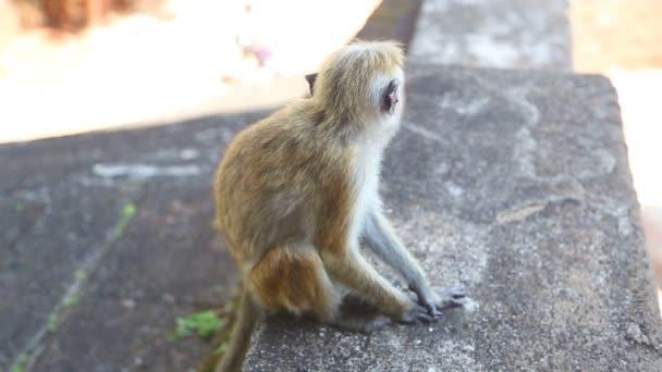 Baby opice v Sígiriji