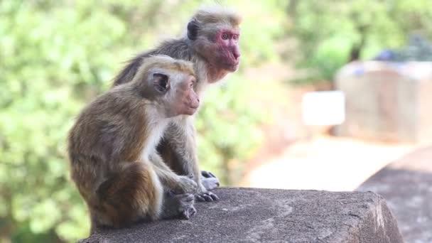 Két majmok Sigiriya