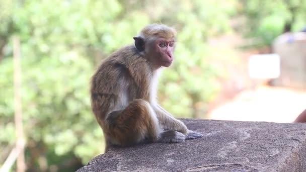 Baba majom a Sigiriya