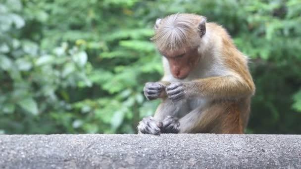 Nahaufnahme eines Affen in der Nähe des goldenen Tempels von Dambulla.