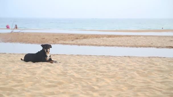 Pes na pláži Hikkaduwa