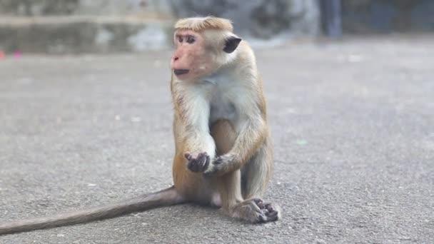 Monkey near the Golden Temple of Dambulla.