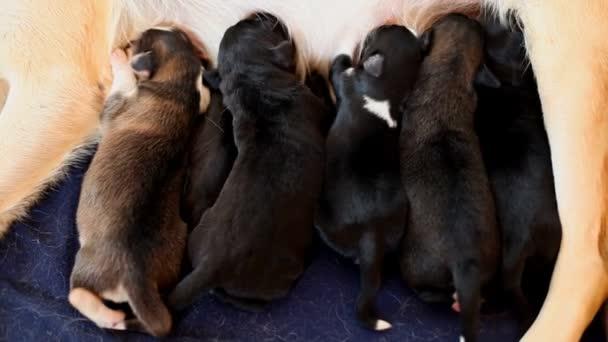 Prsa štěňata krmí matku