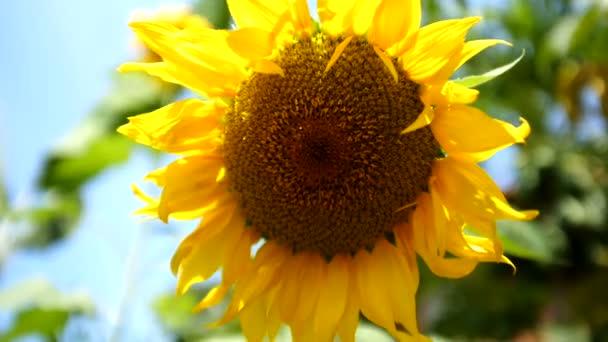 a nap sárga napraforgó