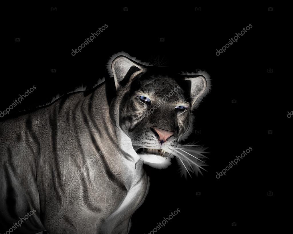 Fotografie: tigre bianca nero tigre bianca a sfondo nero u2014 foto