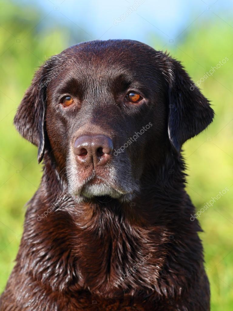 Beautiful Chocolate Lab Looking Into The Distance Stock Photo