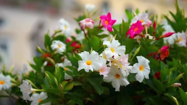 Petúnie květiny. V zaměření jsou růže Petúnie na popředí