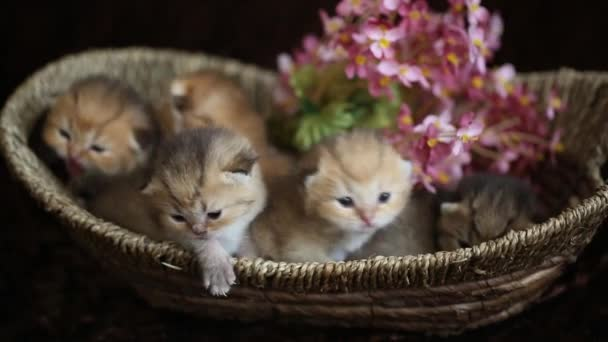 British gold kittens in a basket