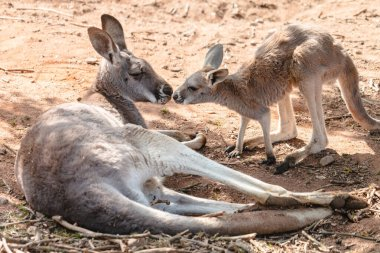 Two red giant kangaroos female and joey nose to nose. Cute young kangaroo and its mother doe lying on the ground.