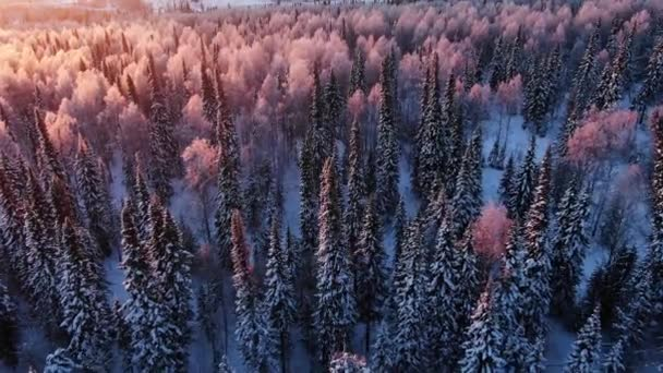 Aerial view of the coniferous winter forest at dawn