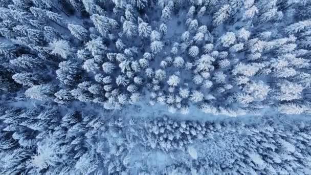 Wunderbarer Wald mit alten Bäumen, die im Winter mit Schnee bedeckt sind