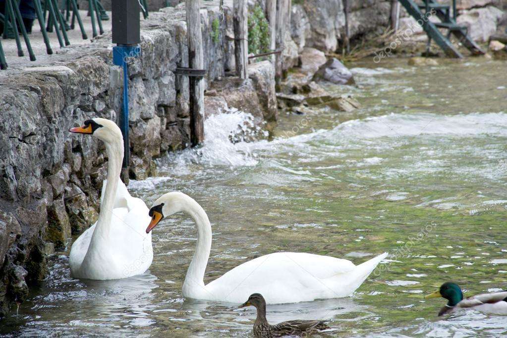 swans on Lake Garda