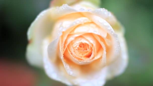 Květ růže v kapkách Rosy